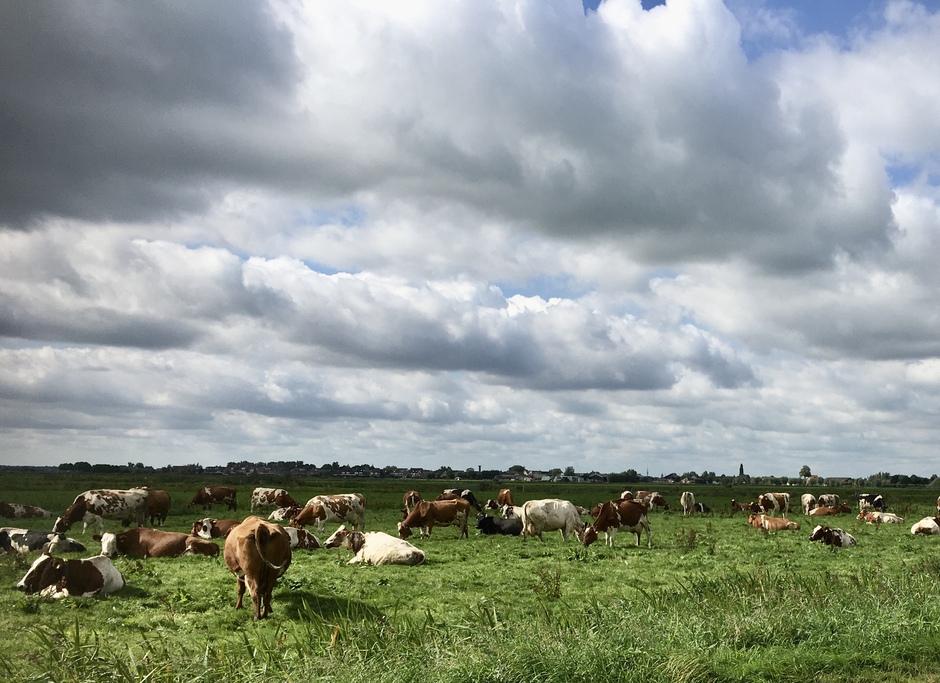 Koeien in de zon