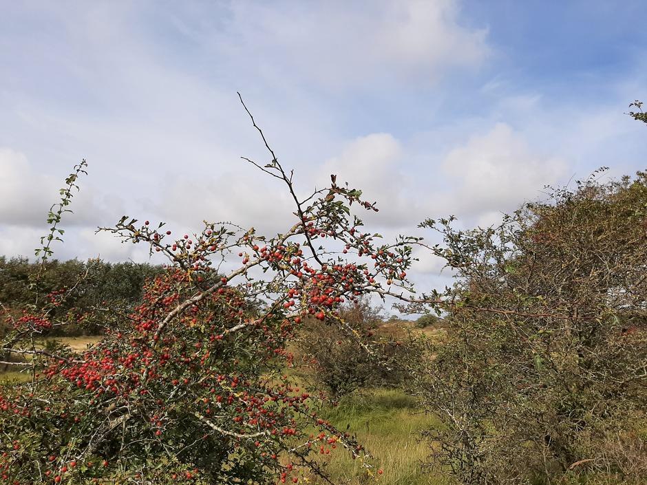 Rode herfstbesjes in de duinen