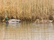 mallard ; nwt cley marsh.
