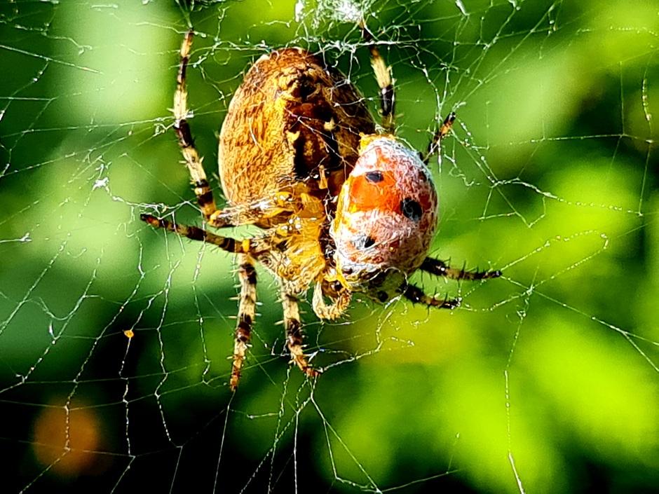 Ook een spin moet eten.