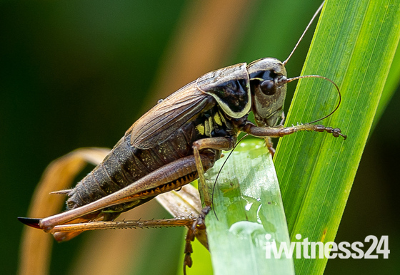 Kingfisher and a Roesel's bush cricket