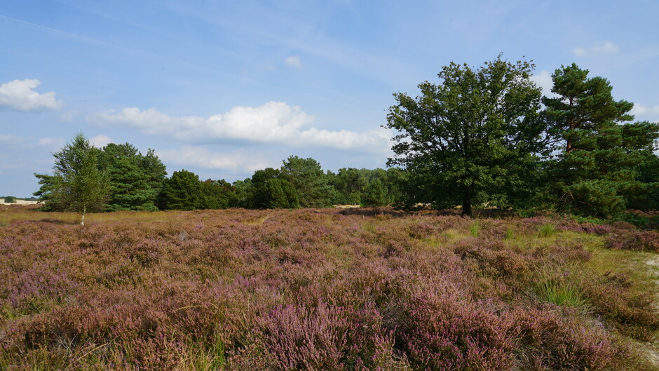 Heide in Drunense duinen