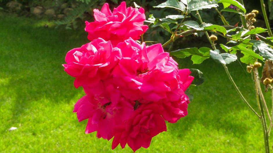 Zonnetje schijnt op de roos
