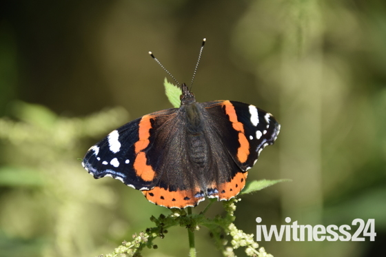 Red Admiral and a White Butterfly