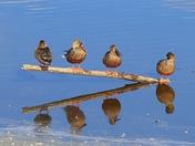 Shoveler Ducks and their reflections
