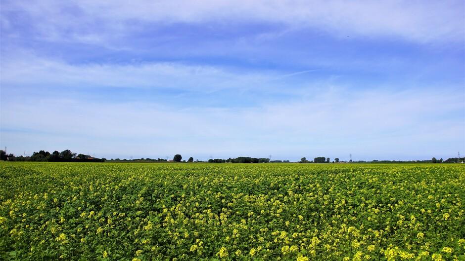 zonnig blauwe lucht en sluierwolken 19 gr in de polder met bloeiend mosterdzaad