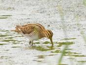 snipe ; nwt cley marsh