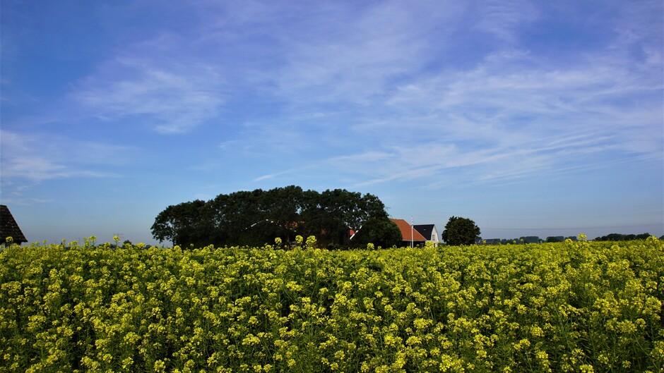 zon blauwe lucht sluier wolken 14 gr bloeiend mosterdzaad