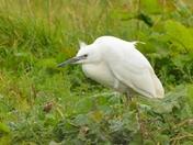 egrets ; nwt cley marsh.