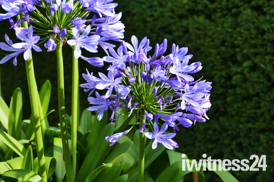 AGAPANTHUS IN THE SUN, HOUGHTON HALL, HOUGHTON