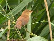 juvenile reed warblers ; nwt cley marsh.