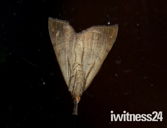 Long Snouted Moth