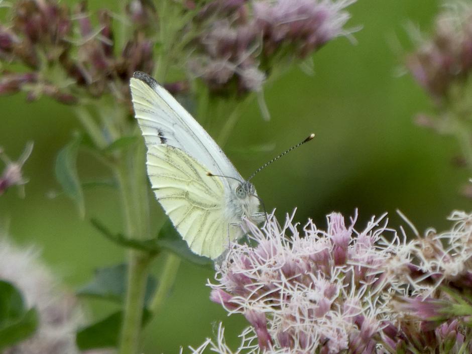 Geen gebrek aan vlinders dit najaar!
