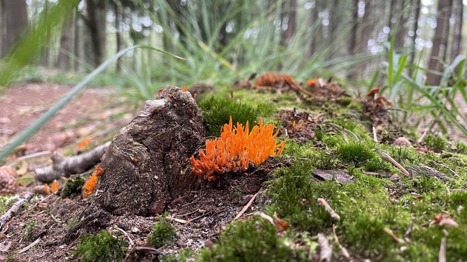 Kleverig koraalzwammetje, maar dan de oranje variant (foto 100% niet bewerkt)