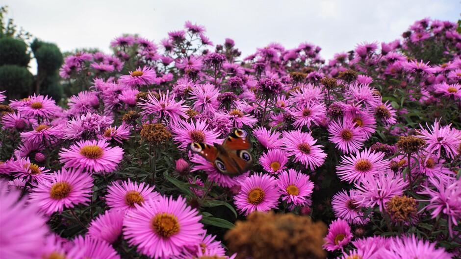 zon blauw wolken 22 gr 14.00 uur vlinders op herfstasters
