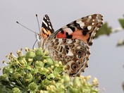 Painted Lady on Ivy berries.