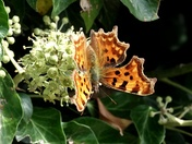 Comma butterfly on Ivy berries.