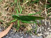 Giant Grass Hopper