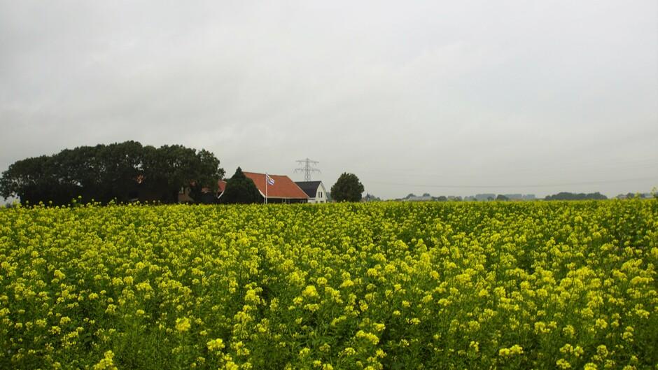 grijs en bewolkt weer 17 gr veld met geel bloeiend mosterdzaad