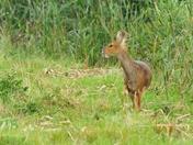 chinese water deer ; nwt cley marsh.