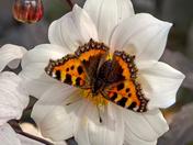 Butterflies in autumn