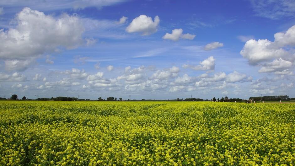zonnig blauwe lucht en mooie stapel wolken 19 gr in de polder met geel bloeien mosterdzaad