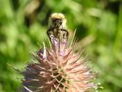 Bee a Teasel