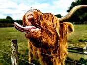 Highland cow at baylham rare breeds farm
