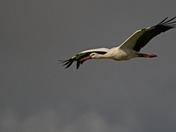 White Stork at Buckenham