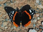 An admirable red admiral