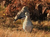 Stone Curlew,s.