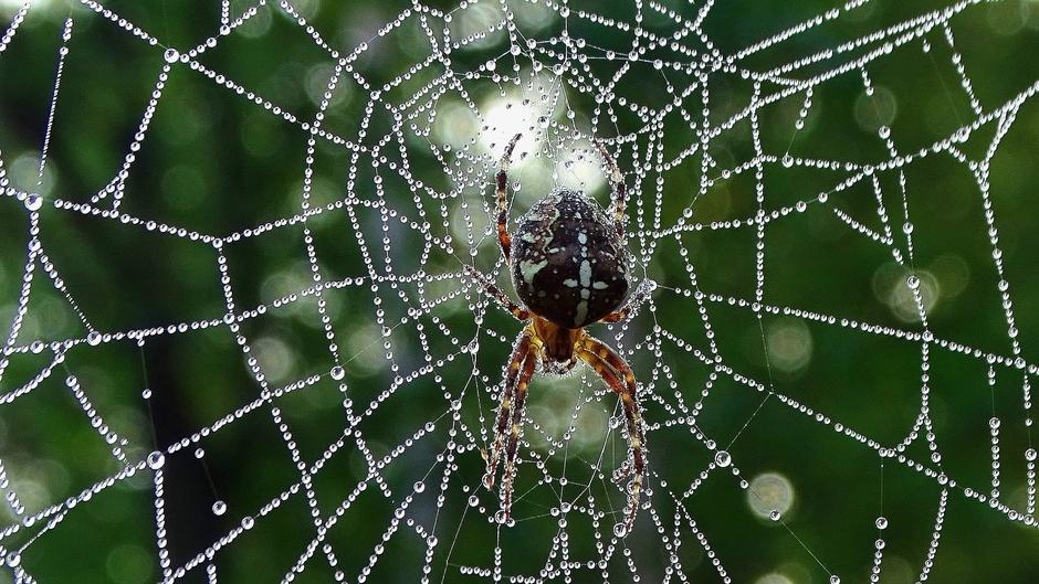 Kruisspin in web met dauwdruppels