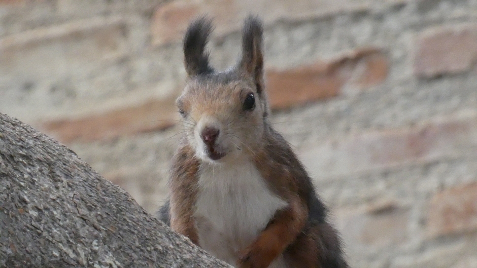 Spaanse eekhoorn