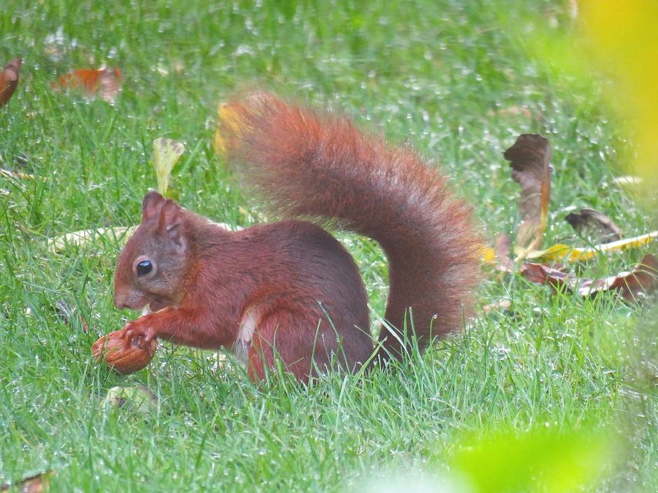 Ochtenddauw op gras/eekhoorn met noot uit eigen tuin!