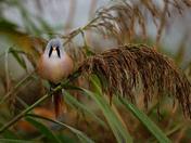 Bearded reedling, male