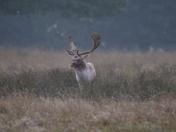 Deer at dawn , Helmingham Hall