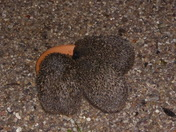 A hedgehog arrives for his dinner.