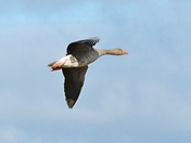 greylag goose ;nwt cley marsh.