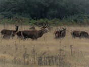 Stag with his harem of hinds