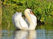 swans ; nwt cley marsh.