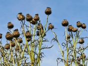 PROJ 52. LOOKING UP.   THISTLE HEADS AT HOUGHTON HALL