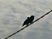 PROJ 52. LOOKING UP.   JACKDAWS AT DUSK ON THE WIRE AT HEMPTON