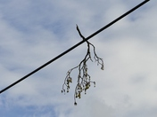 PROJ 52. LOOKING UP.   BRANCH HANGNG ON THE WIRE AT DUNTON