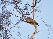 PROJ 52. LOOKING UP.  PIGEON IN A TREE AT BLAKENEY