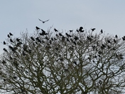 PROJ 52. LOOKING UP.   CROWS GOING TO ROOST AT PENSTHORPE