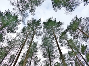PROJ 52. LOOKING UP.   TREE CANOPY AT SANDRNGHAM