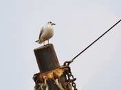 PROJ 52. LOOKING UP.   GULL IN THE RIGGING AT WELLS
