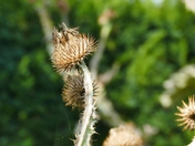 SEED HEAD AT HOUGHTON HALL