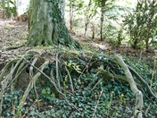 TREE ROOTS VISIBLE IN THE GARDENS AT HINDRINGHAM HALL, HINDRINGHAM
