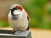SPARROW PERCHED ON THE BACK OF A CHAIR AT PENSTHORPE